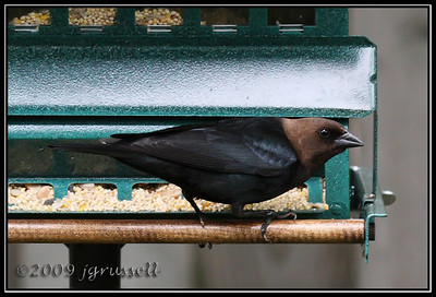 ale brown-headed cowbird
