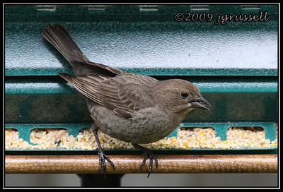 Female brown-headed cowbird