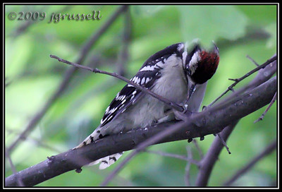Baby male woodpecker