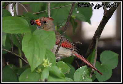 Cardinal with berry
