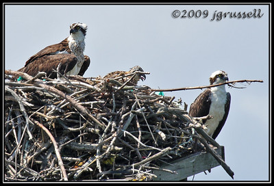 Osprey with chicks